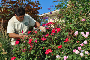 Landscape Services Pruning Roses