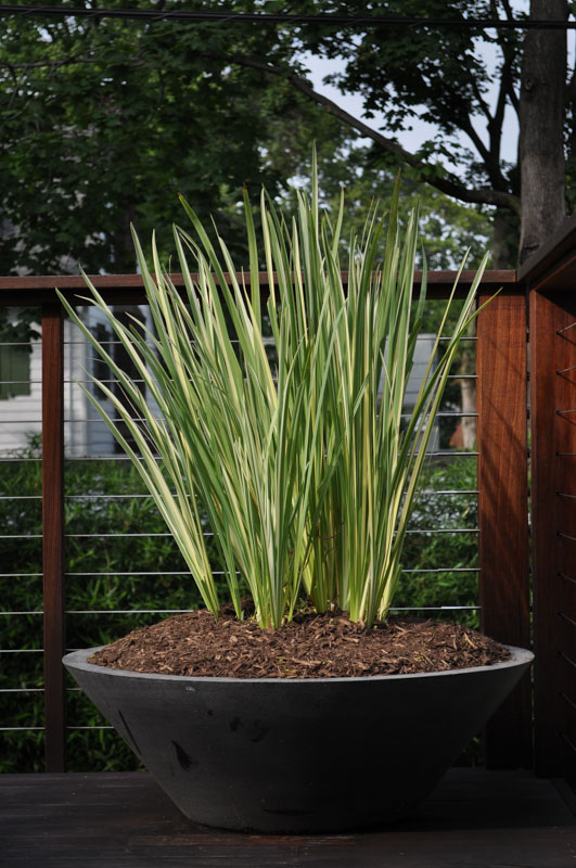 container planting with variegated iris