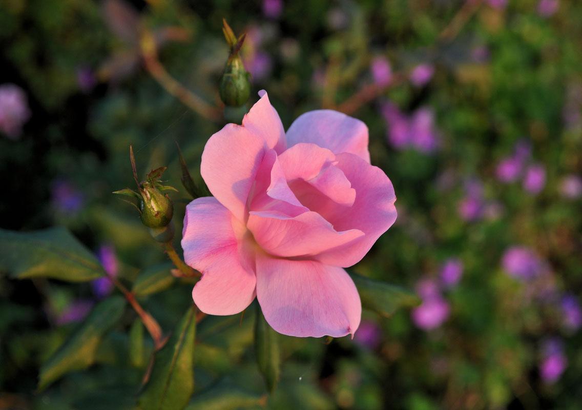 blushing pink knock out rose - nj