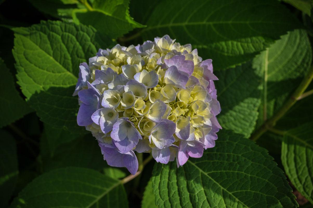 endless summer hydrangea - nj