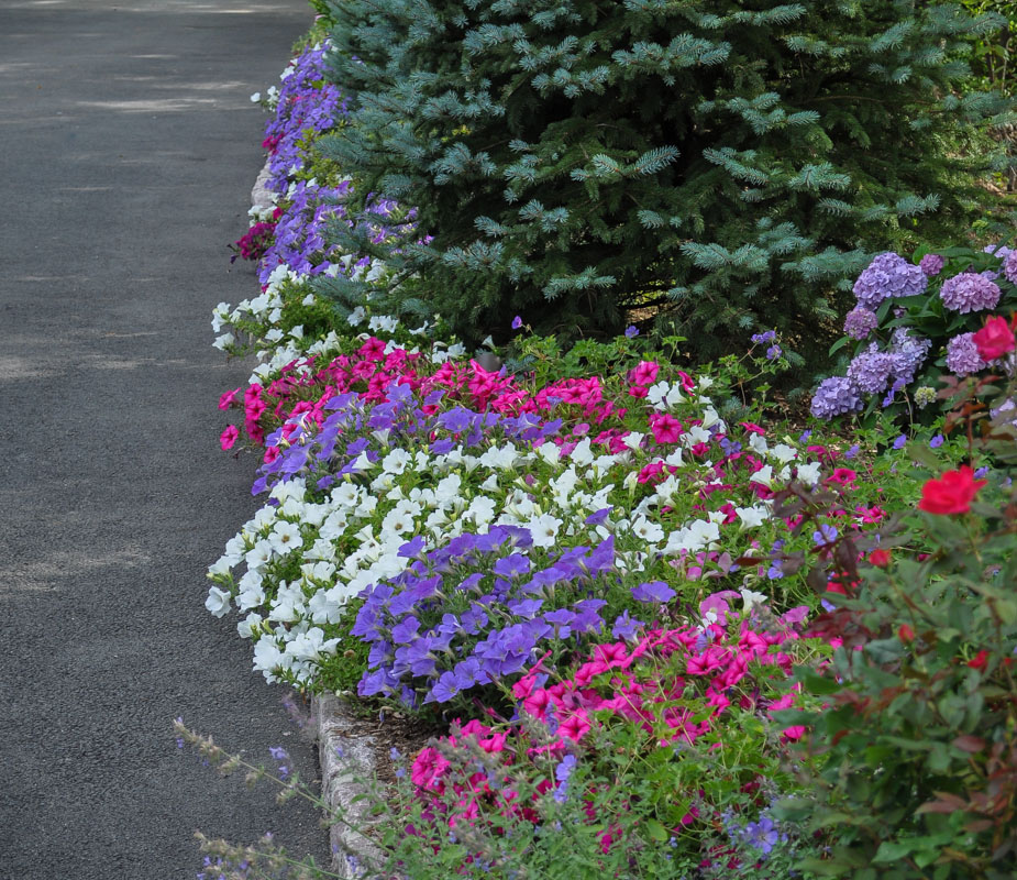 petunias in flower bed planting design