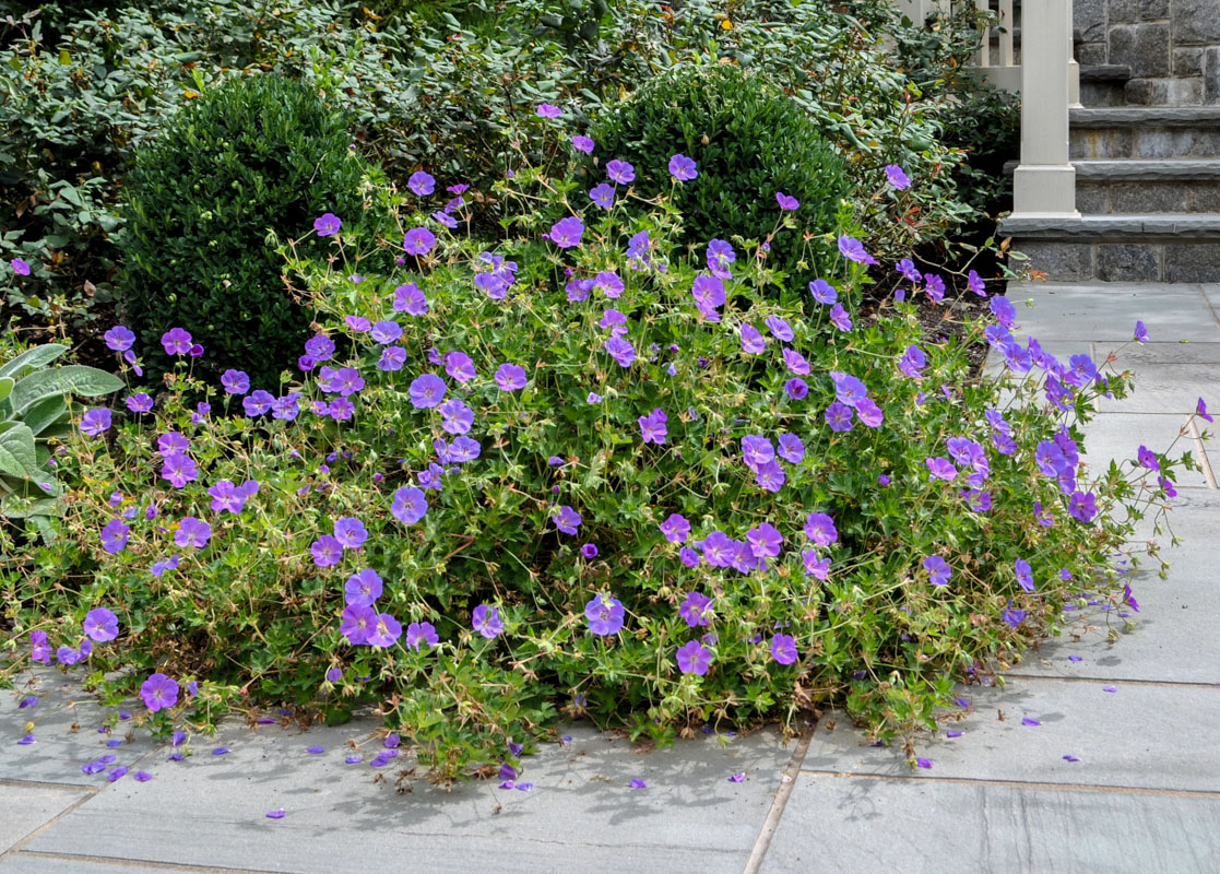 rozanne geranium, purple flower, walkway planting design