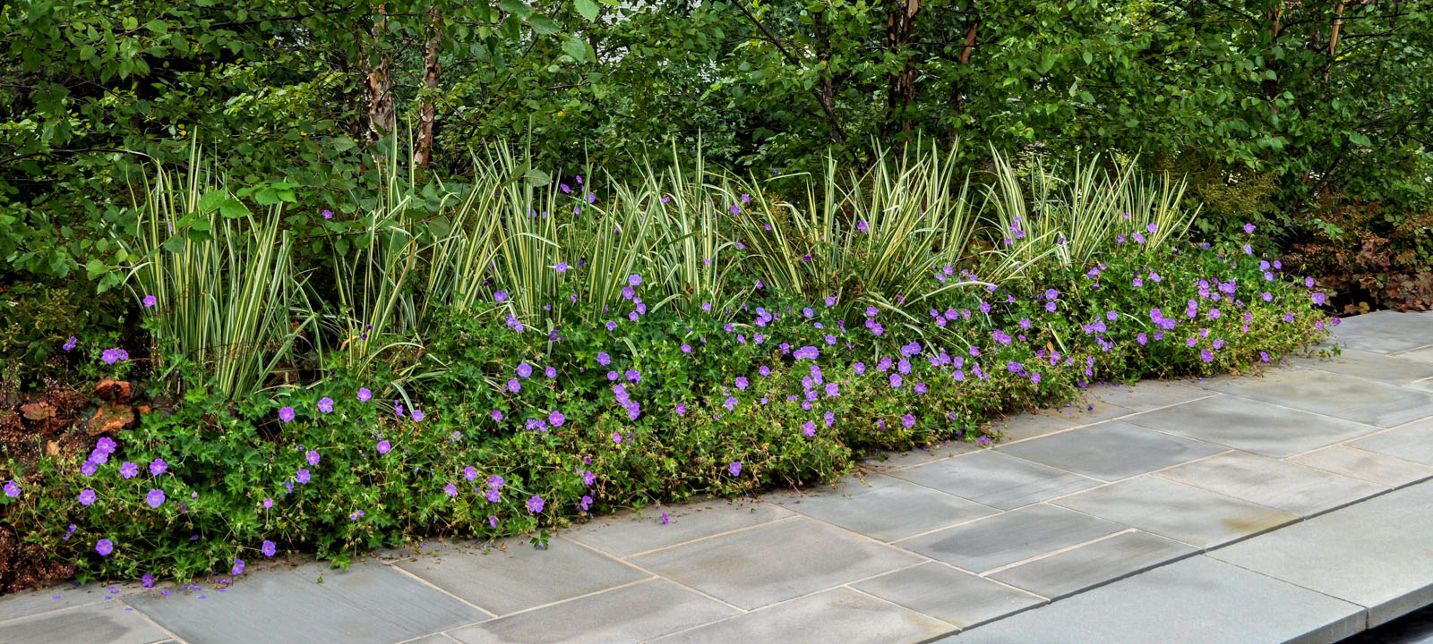 rozanne geranium, walkway flower planting