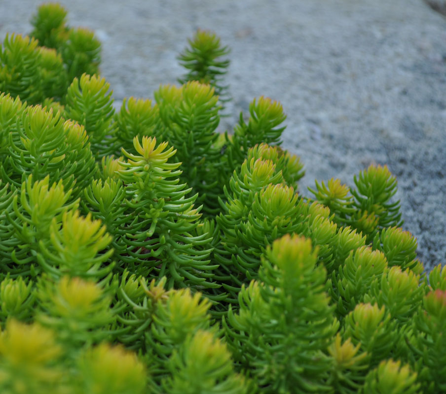 angelina sedum used in nj planting design