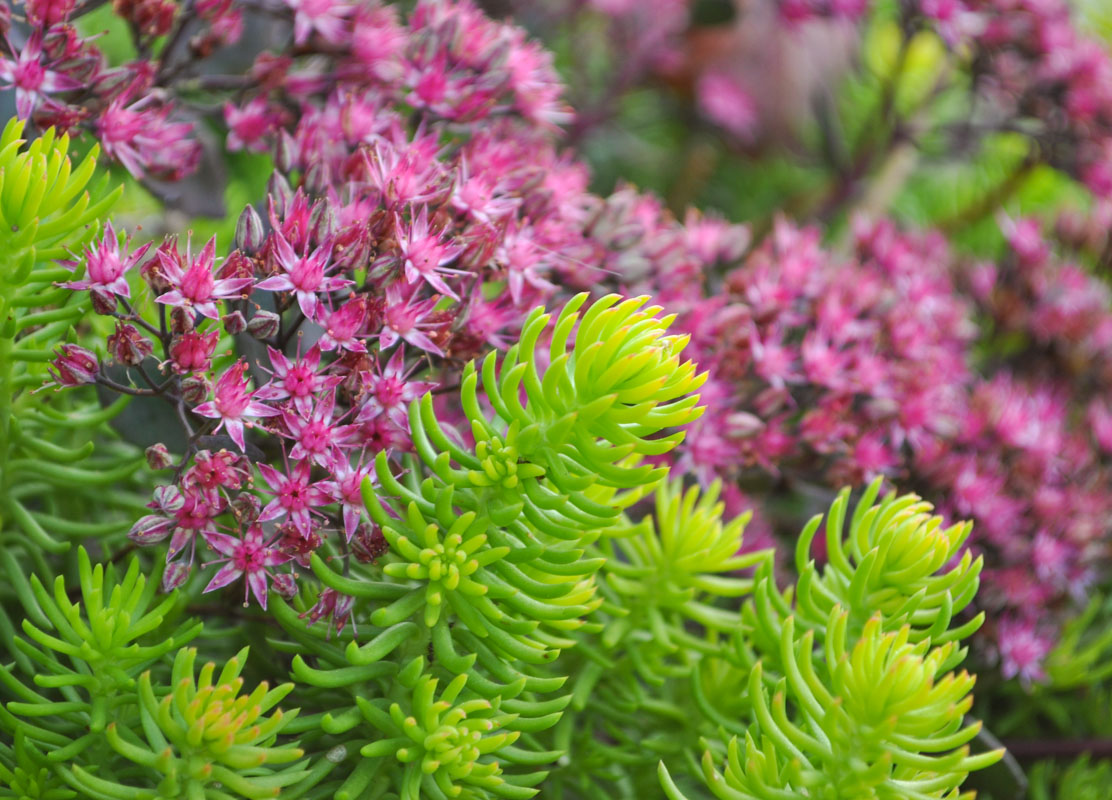 pink flowering sedum, plant design