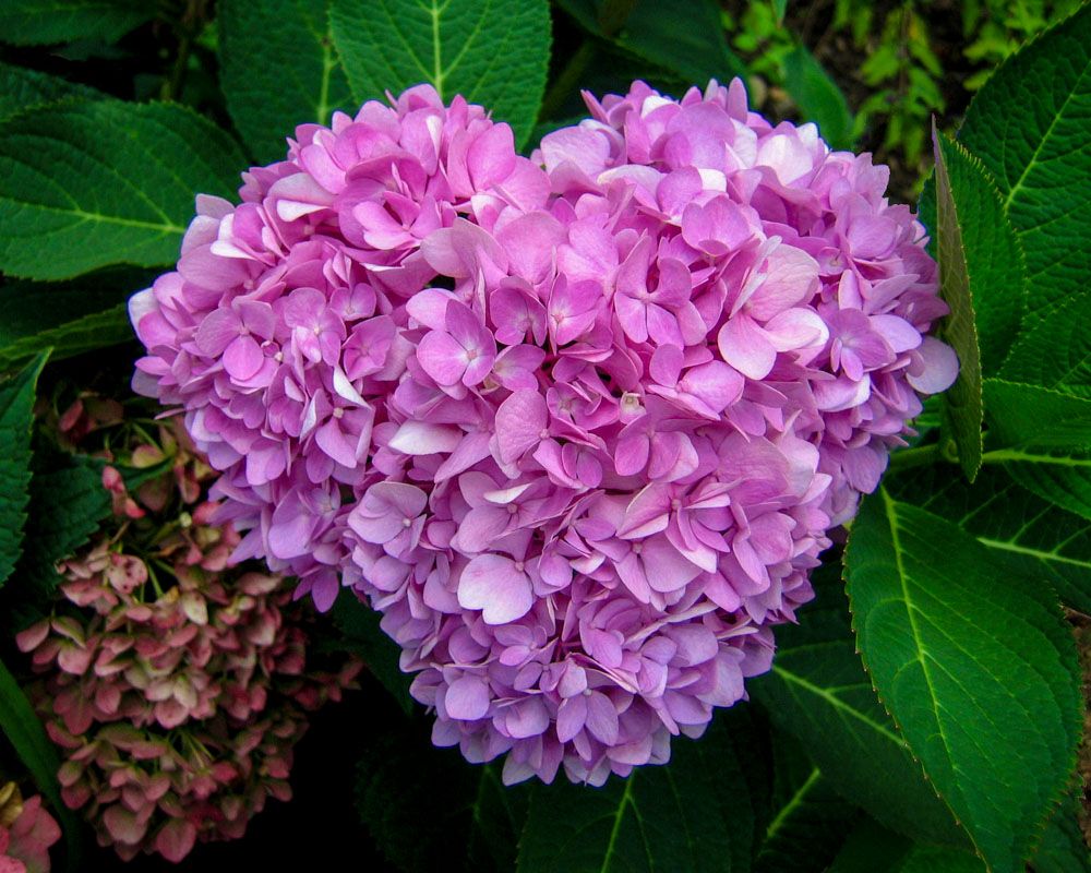 hydrangea in shape of heart