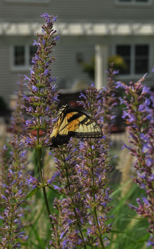 swallowtail butterfly on purple flower - north jersey