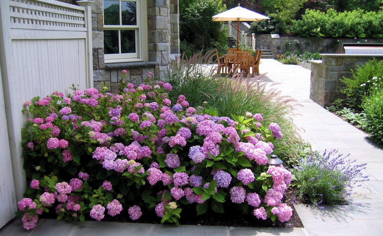 Mass Of Endless Summer Hydrangea Planted Along The Walkway Tenafly Nj Clc Landscape Design