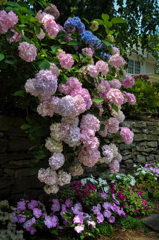 fieldstone retaining wall, hydrangea