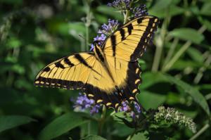 Deer Resistant Butterfly Bush Plant