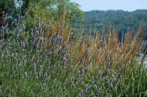 Deer Resistant Lavender Plant
