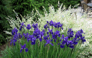 Deer Resistant Purple Irises