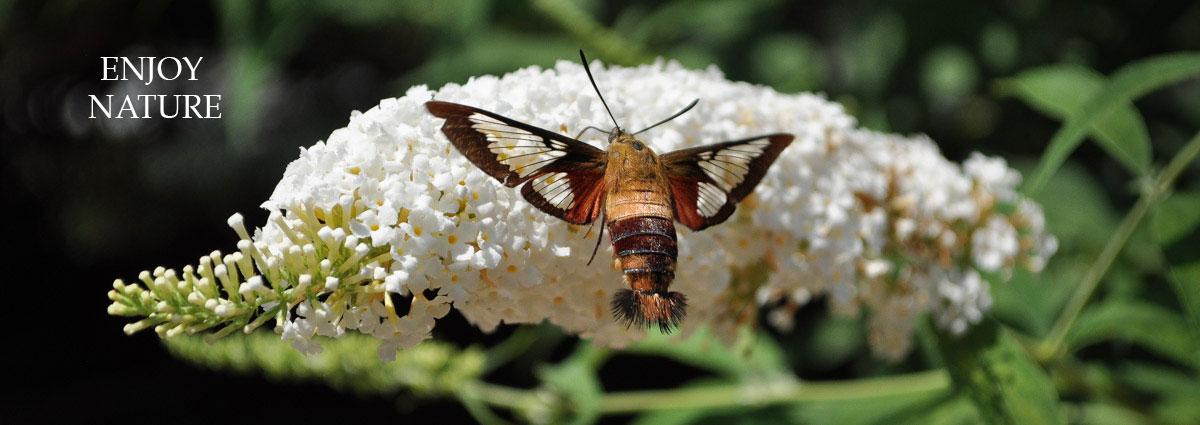 enjoy nature, hummingbird moth