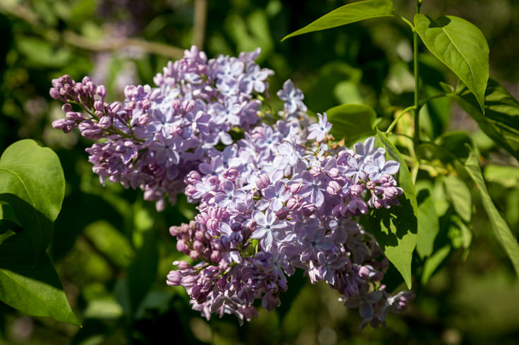 lilacs-at-new-jersey-botanical-garden-1
