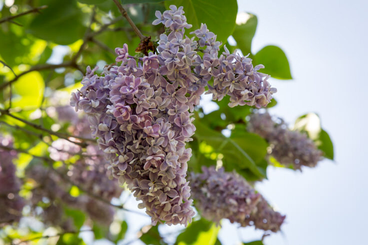 lilacs-at-new-jersey-botanical-garden-3