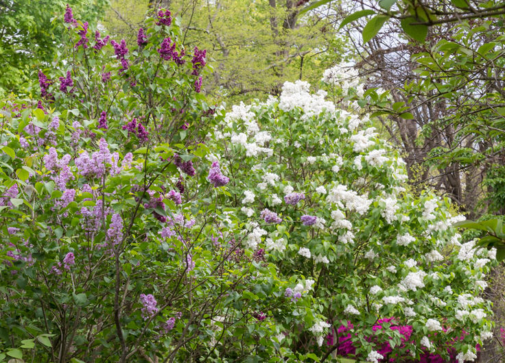 lilacs-at-new-jersey-botanical-garden-4