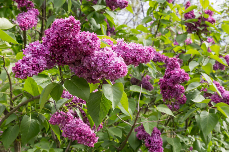 lilacs-at-new-jersey-botanical-garden-5