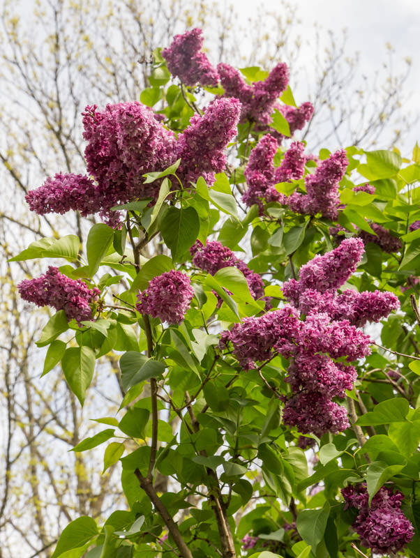 lilacs-at-new-jersey-botanical-garden-2