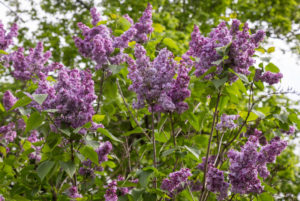 lilacs-in-new-jersey-botanical-garden-1