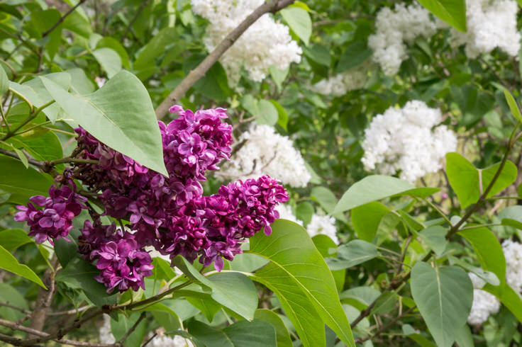 lilacs-at-new-jersey-botanical-garden-8